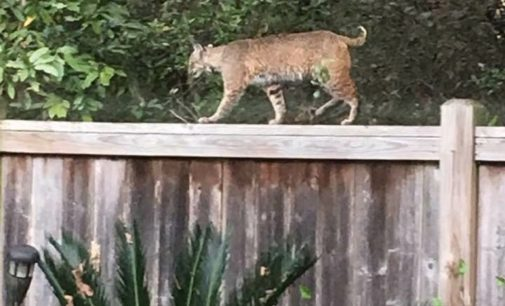 Bobcat Spotted Walking On Fence in Imperial Oaks Neighborhood