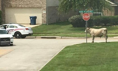 Steer Escapes Spring Slaughterhouse; Plays Frogger On Spring Cypress